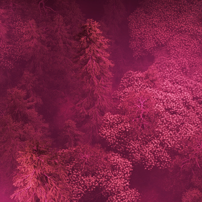 A view of a dark pink forest seen from above. The trees are sinewy but full of leaves and of blossom. They almost look like veins and lung capillaries.